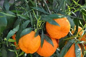 酸橙,Douneika拍摄