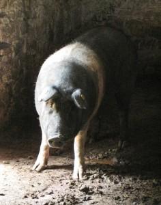 Cinta Senese 猪, Walter Saporiti拍摄