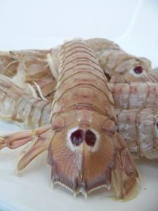 螳螂虾,Flavia Conidi拍摄