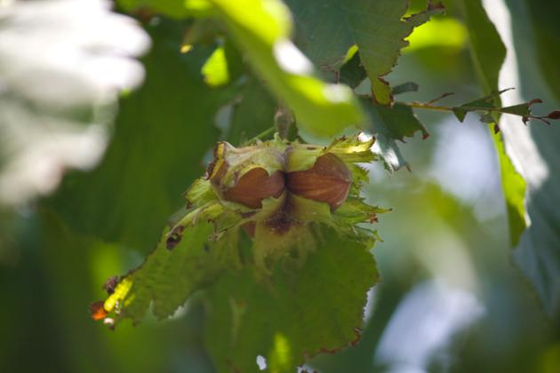 LA MONTANELLA的榛子树