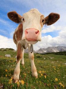 小牛,Ecatoncheires拍摄