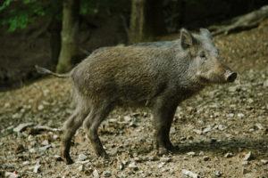 野猪,Gernot A. Molitor拍摄
