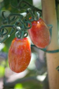 tomatoes, pedulum 4- lombardia