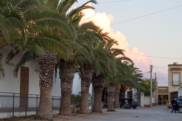 玛莎拉的路边成排的结满果实的棕榈树