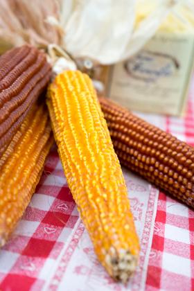 一种谷粒很尖的古老玉米品种