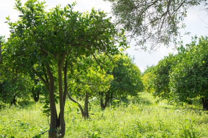 摩洛血橙树