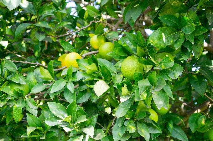 正在生长中的摩洛血橙